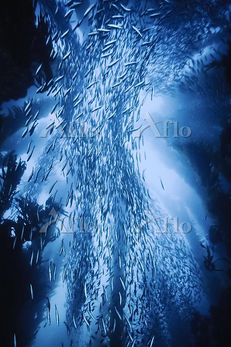 School of mackrel swims amongs・・・