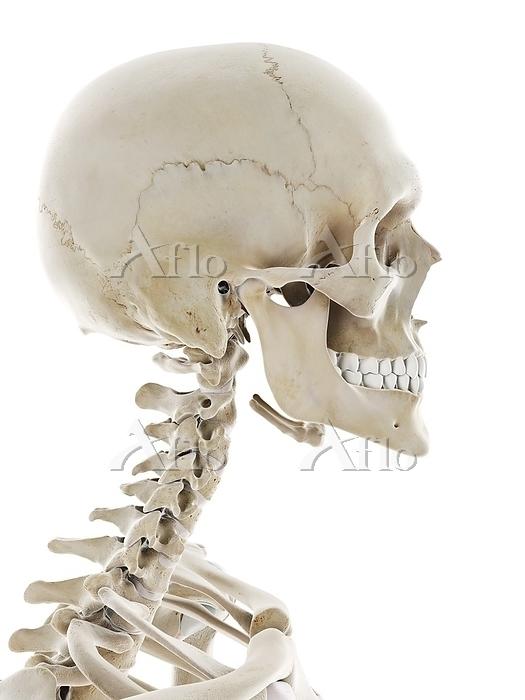 Skeletal head, illustration.