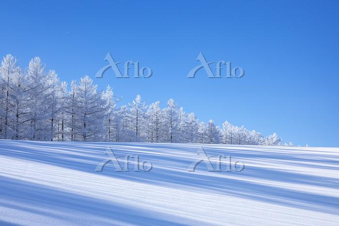 北海道 美瑛町 霧氷のカラマツ並木