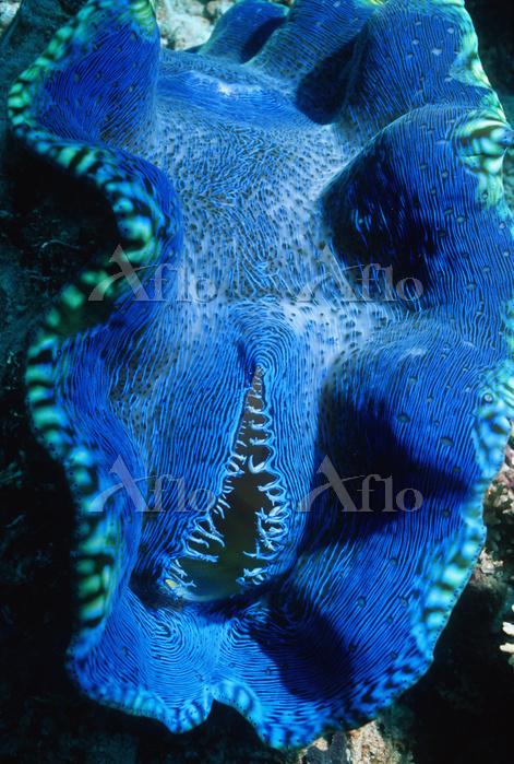Giant clam {Tridacna gigas} Gr・・・