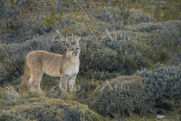 学名:Puma concolor / Mountain Li・・・