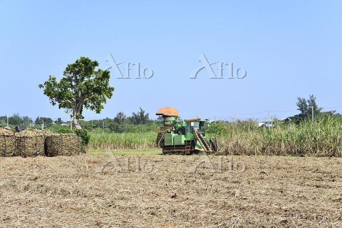 沖縄県 宮古島のサトウキビ収穫 イネ科