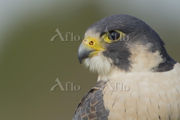 Peregrine Falcon (Falco peregr・・・