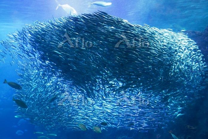 神奈川県 新江ノ島水族館 イワシの群泳