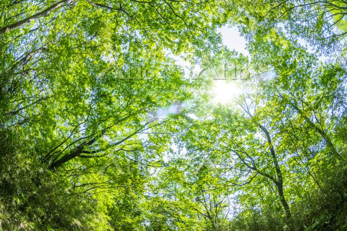 逆光射す新緑の木々を見上げる