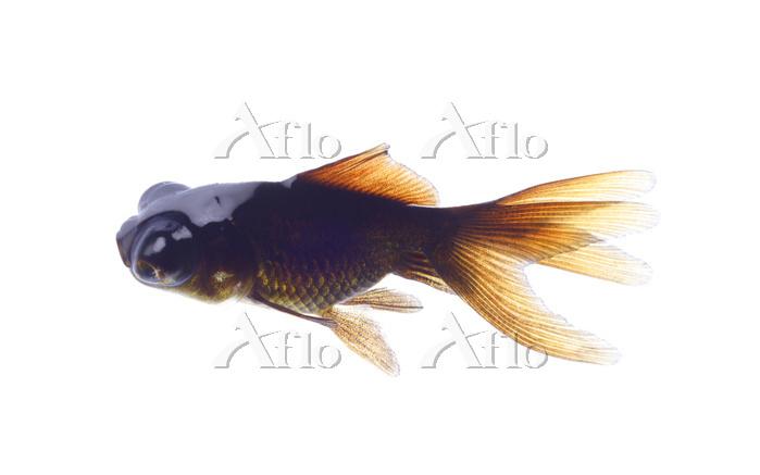金魚 (出目金) 改良品種、学名不詳