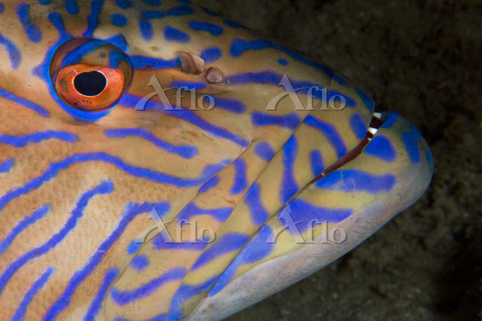 Vermicular coralcod (Plectropo・・・