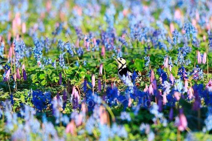 北海道 小鳥 エゾエンゴサクとカタクリの花
