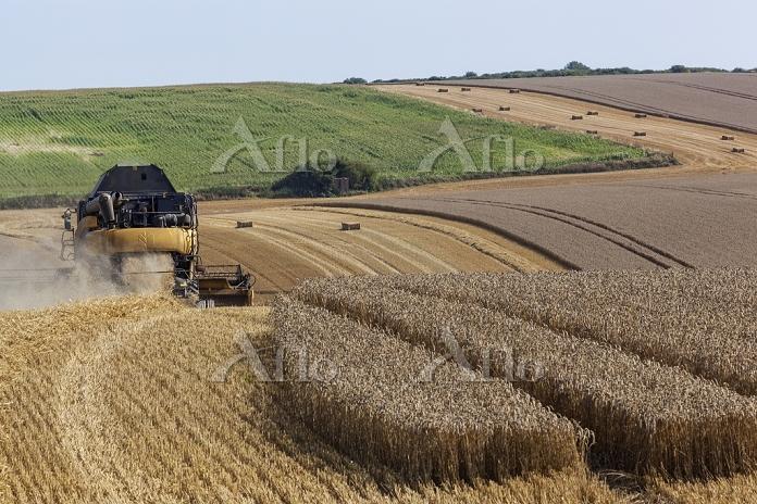 イギリス ケント 小麦の収穫