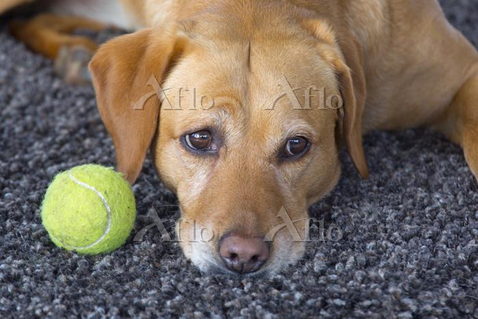 Yellow Labrador resting indoor・・・