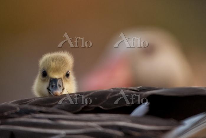 Graylag gosling (Anser anser) ・・・