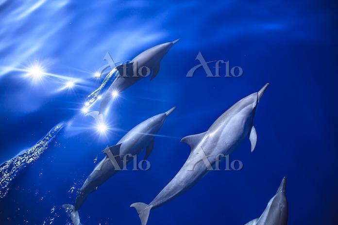 パプアニューギニア キンベ湾 ハンドウイルカの群れ