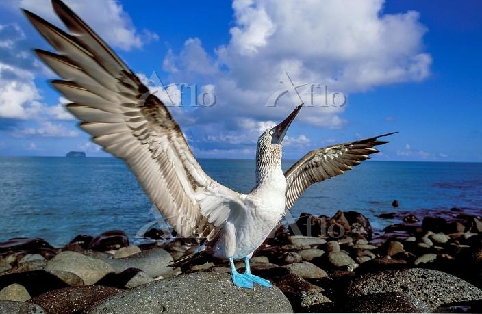 ガラパゴス諸島 アオアシカツオドリ