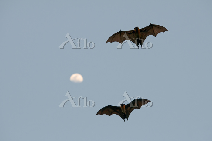 Two Indian Flying Fox (Pteropu・・・
