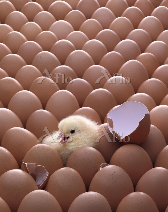 Eggs and a hatched chick, Phot・・・