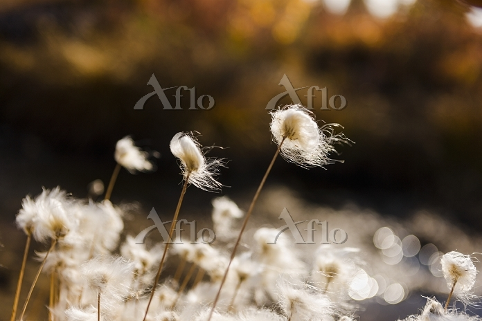Tufts of Cottongrass (Eriophor・・・