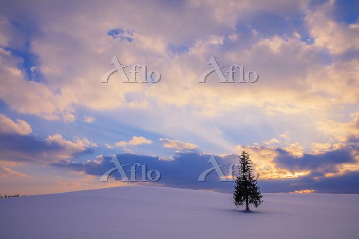 北海道 雪原とクリスマスツリーの木夕景