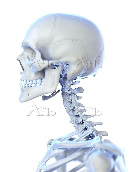 Neck bones, computer illustrat・・・