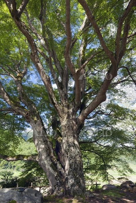 石川県 西慶寺のヤマモミジ 推定樹齢500年 樹高約20m