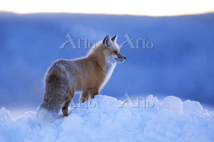 学名:Vulpes vulpes Red Fox (Vulp・・・