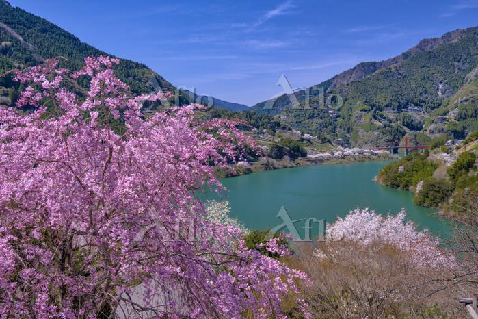 高知県 桜咲く春の大渡ダム