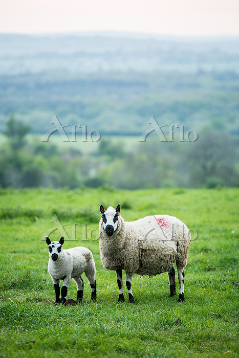 Kerry Hill sheep and lamb on a・・・