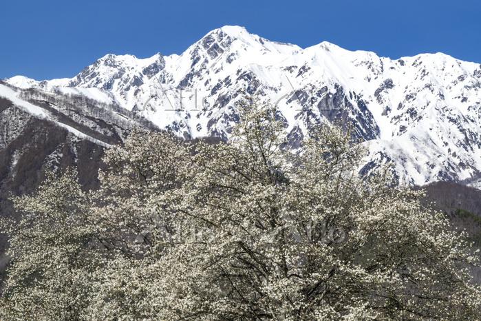 長野県 四十九院のコブシと五竜岳