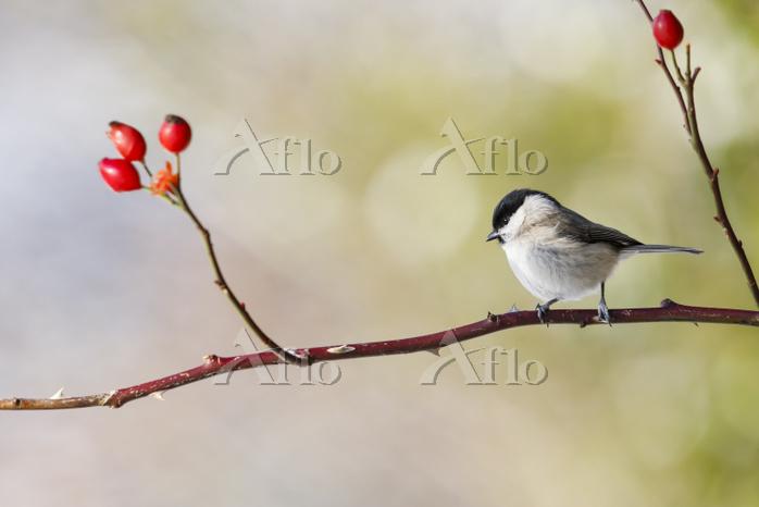 Marsh tit (Poecile palustris) ・・・