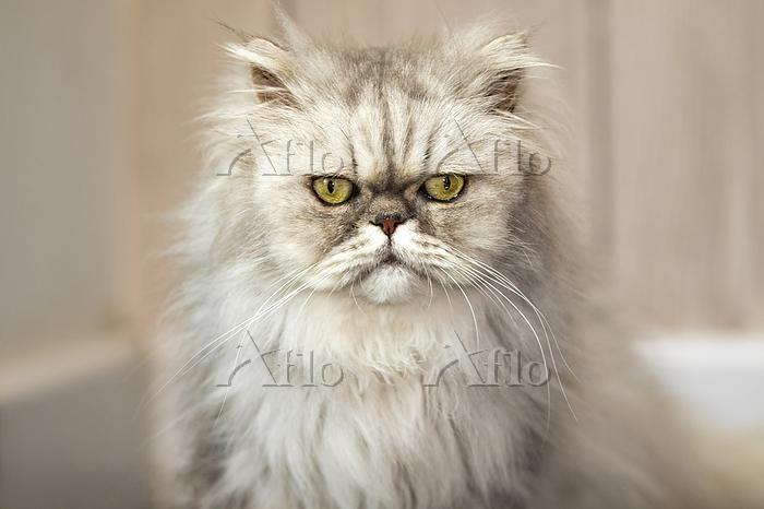 Persian Cat. Old Persian cat i・・・