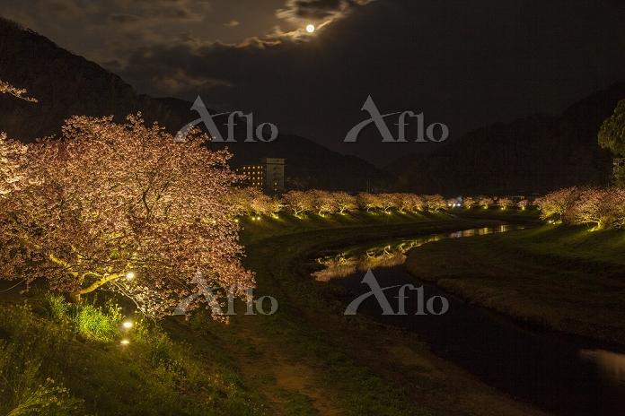 静岡県 南伊豆町 みなみの桜並木(河津桜)