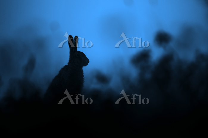 European Hare (Lepus europaeus・・・