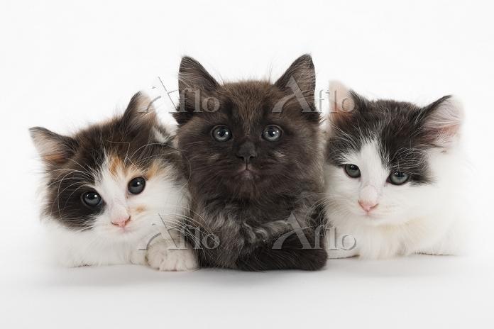 ミックス 3匹の子猫