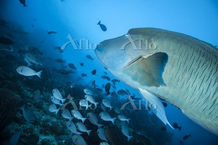 インドネシア コモド諸島 魚群 ナポレオンフィッシュ