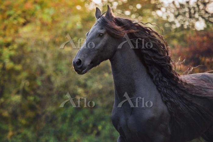 Friese (Equus), animal portrai・・・