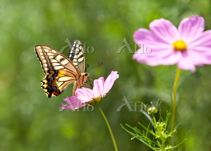 揚羽蝶と秋桜