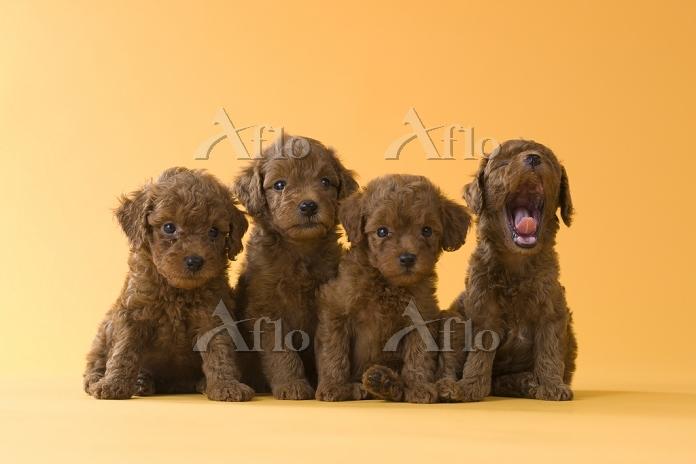 4匹のトイプードルの子犬