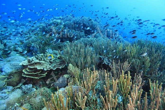 インドネシア コモド諸島 サンゴ礁