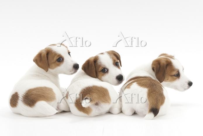 ジャックラッセルテリア 3頭の仔犬