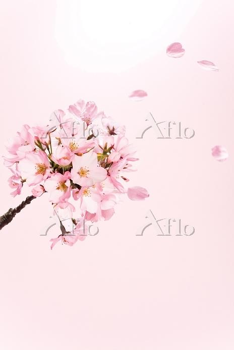 桜の花と散る花びら