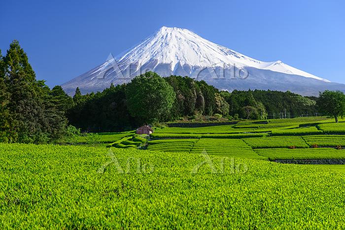 静岡県 新芽の茶畑と富士山