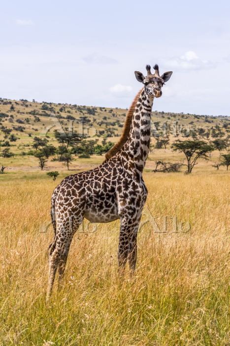 Young Masai giraffe (Giraffa c・・・