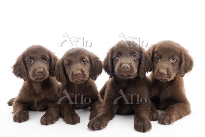 フラットコーテッドレトリーバー 4頭の仔犬