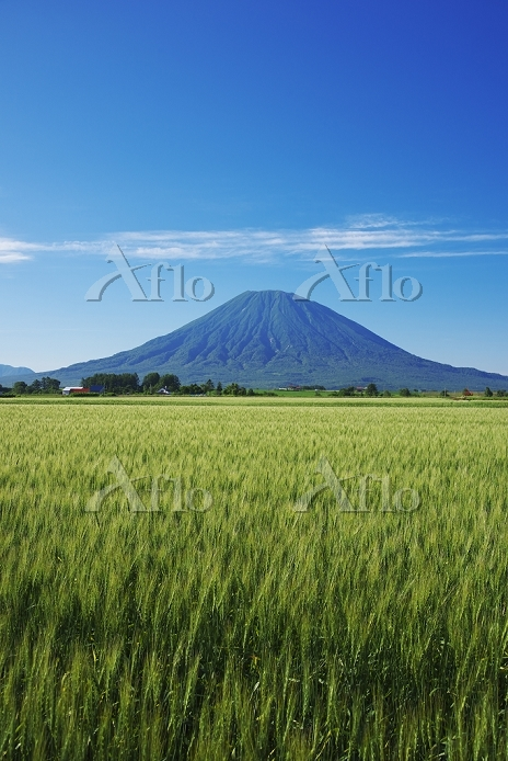 北海道 羊蹄山と麦畑