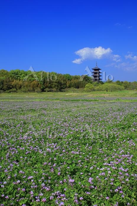 岡山県 レンゲの花咲く吉備路 国分寺五重塔