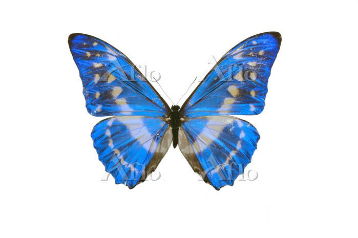 蝶 標本 キプロスモルフォ コロンビア