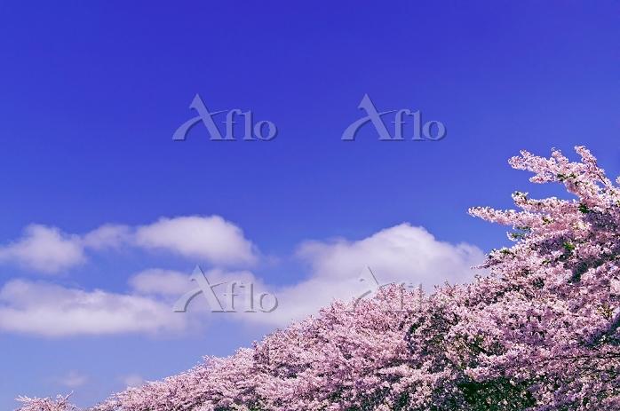北海道 花咲く桜と雲流れる空