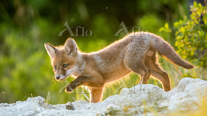 Red fox (Vulpes vulpes) young ・・・