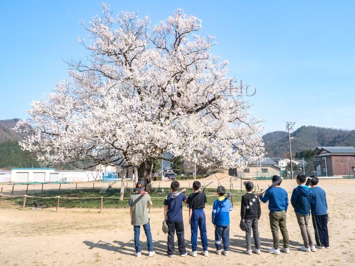 福井県 味真野小学校の桜