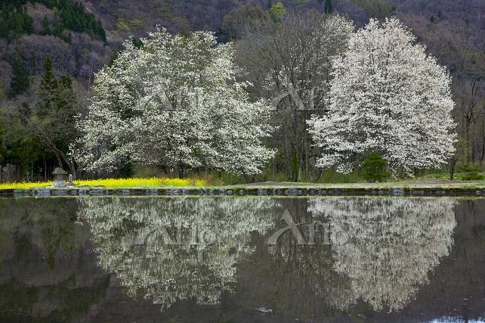 長野県 水田と四十九院のコブシ