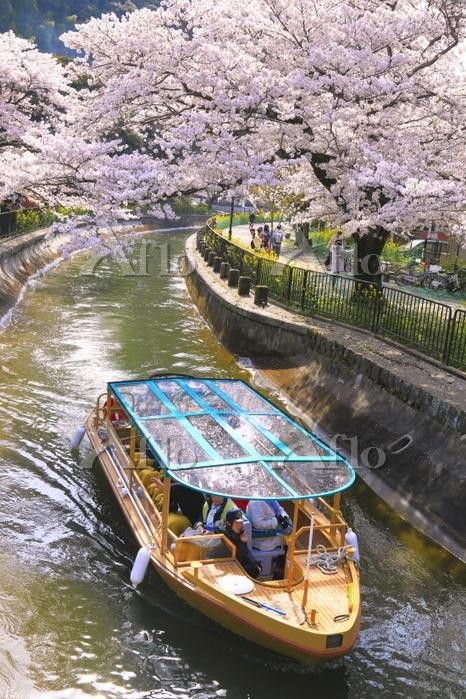 京都府 桜のびわ湖疏水船